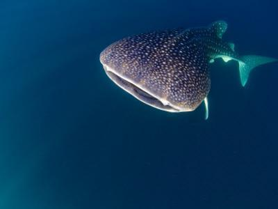 Djibouti, Bay of Tadjourah, A Whale Shark Swims Near the Surface in the Bay of Tadjourah by Fergus Kennedy