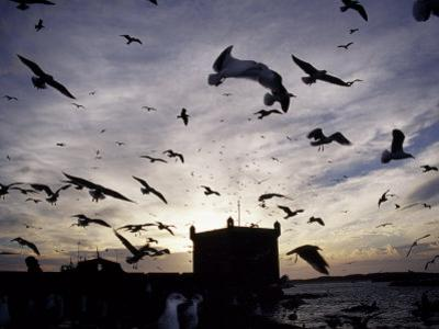 Hungry Seagulls Silhouetted Againt the Sunset in the Harbour at Essaouira, Morocco by Fergus Kennedy