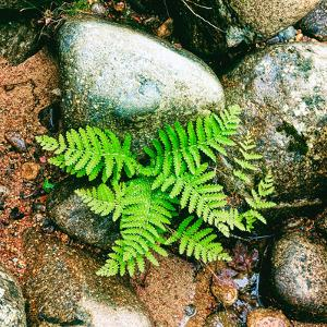 Fern leaves and rock in a forest, Swift River, White Mountain National Forest, New Hampshire, USA