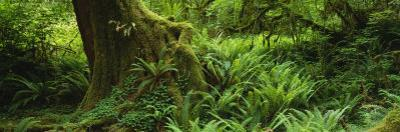 Ferns and Vines, Hoh Rainforest, Olympic National Forest, Washington State, USA