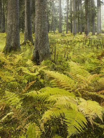 https://imgc.allpostersimages.com/img/posters/ferns-in-a-coniferous-forest-lechquellen-mountains-vorarlberg-austria_u-L-Q11YTIC0.jpg?artPerspective=n
