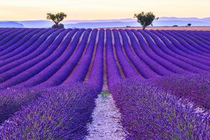 Lavender Field Summer Sunset Landscape with Two Tree near Valensole.Provence,France by Fesus Robert