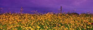 Field Coreopsis Flowers, Texas, USA