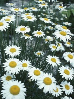 Field of Beautiful Blooming Yellow and White Daisies