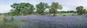 Field of Bluebonnet Flowers, Texas, USA