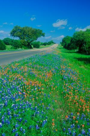 Field of bluebonnets in bloom Spring Willow City Loop Rd. TX