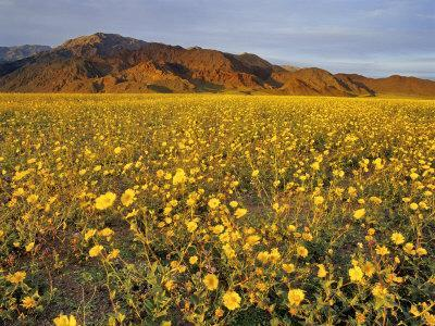 https://imgc.allpostersimages.com/img/posters/field-of-desert-gold-wildflowers-death-valley-national-park-california-usa_u-L-P42L4P0.jpg?artPerspective=n