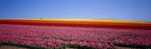 Field of Flowers, Near Encinitas, California, USA