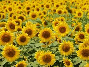 Field of Sunflowers, Full Frame, Zama City, Kanagawa Prefecture, Japan
