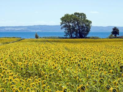 https://imgc.allpostersimages.com/img/posters/field-of-sunflowers-lake-of-bolsena-bolsena-viterbo-province-latium-italy_u-L-PHAV9M0.jpg?p=0