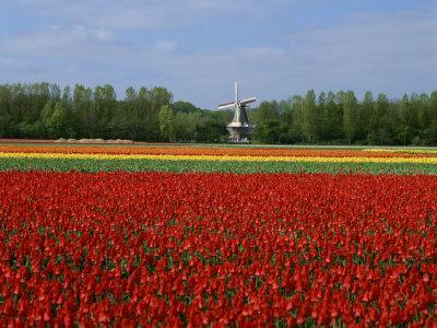 https://imgc.allpostersimages.com/img/posters/field-of-tulips-with-a-windmill-in-the-background-near-amsterdam-holland-europe_u-L-P7XKCS0.jpg?artPerspective=n