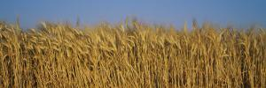 Field of Wheat, France