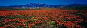 Field, Poppy Flowers, Antelope Valley, California, USA