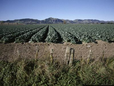https://imgc.allpostersimages.com/img/posters/fields-of-broccoli-in-agricultural-area-gisborne-east-coast-north-island-new-zealand_u-L-P1TPU90.jpg?p=0