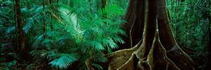 Fig Trees in a Forest, Atherton Tableland, Wooroonooran National Park, Queensland, Australia