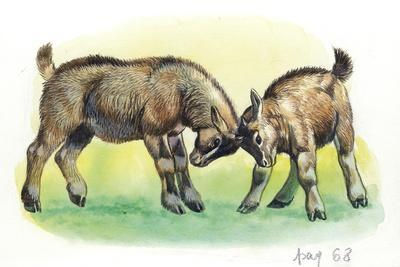 https://imgc.allpostersimages.com/img/posters/fight-between-baby-goats-or-kids-capra-hircus_u-L-PVECPN0.jpg?p=0