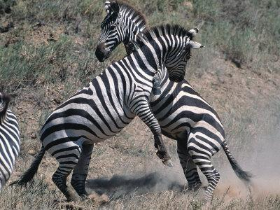 https://imgc.allpostersimages.com/img/posters/fighting-burchell-s-zebra-serengeti-tanzania_u-L-P589W40.jpg?p=0