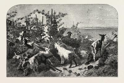 Salon of 1855, Goats, 1855