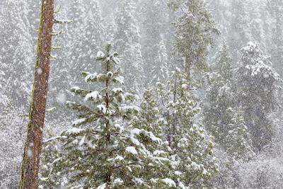 https://imgc.allpostersimages.com/img/posters/fir-trees-in-snowfall-oakhurst-california-usa_u-L-PN6WH10.jpg?p=0