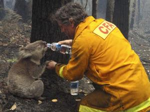 Firefighter Shares His Water an Injured Australian Koala after Wildfires Swept Through the Region