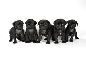 Five Black Pug Puppies (6 Weeks Old)