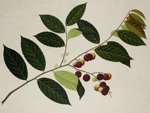Flacourtia Rukam