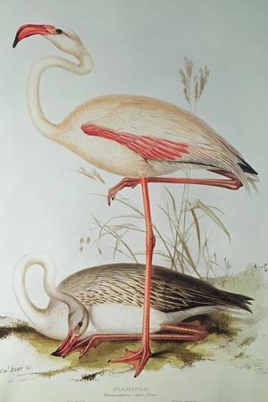 https://imgc.allpostersimages.com/img/posters/flamingo_u-L-PLE42Y0.jpg?p=0