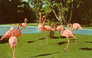 Flamingos at San Diego Zoo