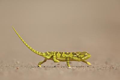 https://imgc.allpostersimages.com/img/posters/flap-necked-chameleon-flap-neck-chameleon-chamaeleo-dilepis_u-L-PWFIRZ0.jpg?p=0