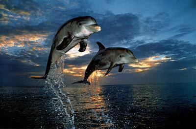 Flight of Two Dolphins (Jumping, Sunset) Art Poster Print