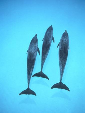 Atlantic Spotted Dolphin (Stenella Frontalis) Three Swimming Underwater, Bahamas