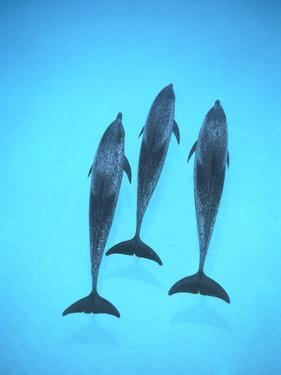 Atlantic Spotted Dolphin (Stenella Frontalis) Three Swimming Underwater, Bahamas by Flip Nicklin/Minden Pictures