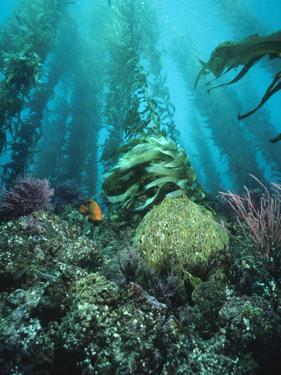 Giant Kelp (Macrocystis Pyrifera) Forest with Garibaldi, Channel Islands National Park, California by Flip Nicklin/Minden Pictures