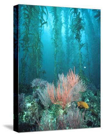 Giant Kelp (Macrocystis Pyrifera) Forest with Garibaldi, Channel Islands National Park, California