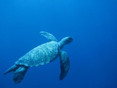 Green Sea Turtle (Chelonia Mydas) Endangered, Swimming Underwater, Cocos Island, Costa Rica