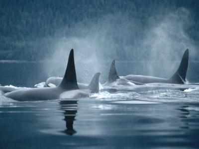 Orca (Orcinus Orca) Group Surfacing, Johnstone Strait, British Columbia, Canada by Flip Nicklin/Minden Pictures