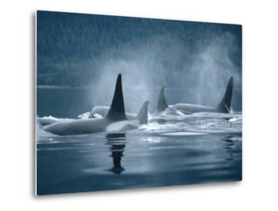 Orca (Orcinus Orca) Group Surfacing, Johnstone Strait, British Columbia, Canada