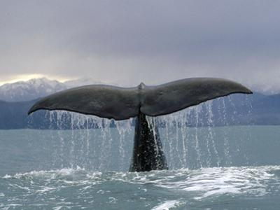 Sperm Whale (Physeter Macrocephalus) Tail, New Zealand