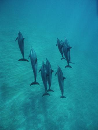 Spinner Dolphin (Stenella Longirostris) Group Underwater, Bahamas