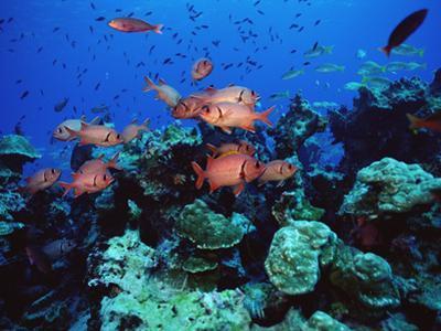 Squirrel Fish (Holocentrus Sp) Schooling at Reef, Cocos Island, Costa Rica