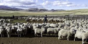 Flock of Sheep in a Farm with Mountains in the Background, Estancia Punta Del Monte
