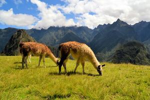 Pair of Llamas in the Peruvian Andes Mountains by flocu