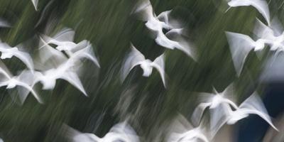 Black-Headed Gulls (Chroicocephalus Ridibundus) Abstract Of Group In Flight