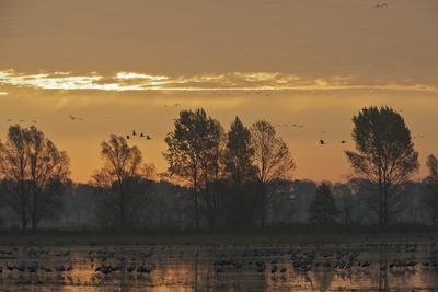 Common Cranes (Grus Grus) at Sunrise, Brandenburg, Germany, October 2008