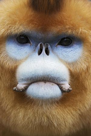 Golden Snub-Nosed Monkey (Rhinopithecus Roxellana Qinlingensis) Adult Male Portrait