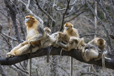 Golden Snub-Nosed Monkey (Rhinopithecus Roxellana Qinlingensis) Family Group