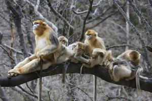 Golden Snub-Nosed Monkey (Rhinopithecus Roxellana Qinlingensis) Family Group by Florian Möllers