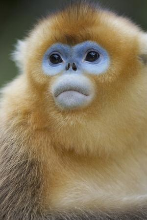 Golden Snub-Nosed Monkey (Rhinopithecus Roxellana Qinlingensis) Portrait