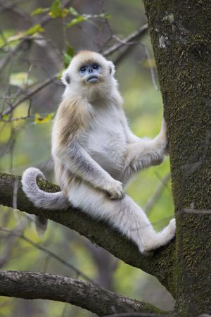 Quinling Golden Snub Nosed Monkey (Rhinopitecus Roxellana Qinligensis), Infant Sitting in a Tree