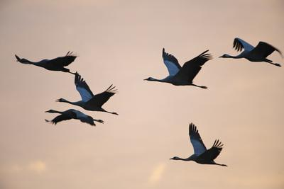 Six Common Cranes (Grus Grus) in Flight at Sunrise, Brandenburg, Germany, October 2008